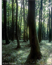 A forest of Buche is seen along a hike on the Jasmund Peninsula.